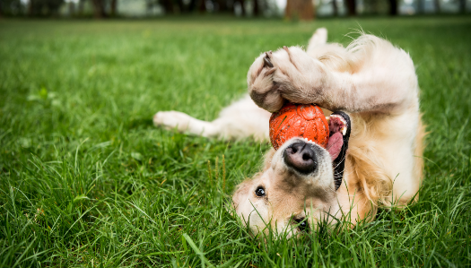 dog laying on their back, playing with a ball